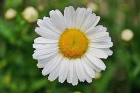 white daisy flower in focus photography free stock photo
