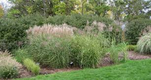 ornament stunning ornamental grasses houston big bluestem