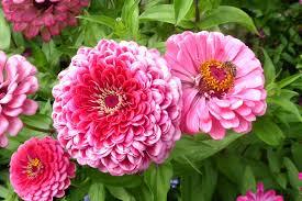 zinnia flowers zinnia flowers summer free photo on pixabay