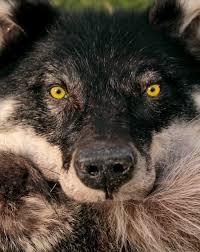 green eyed she wolf headdress again by naturepunk on deviantart