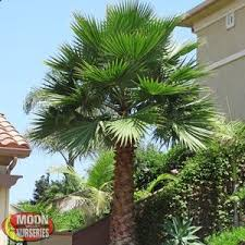 mediterranean fan palm tree palm trees moon valley nurseries