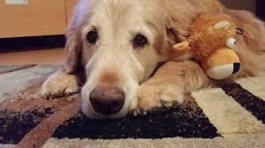 Comfort Retrievers For Adoption Golden Retriever Rescue Resource Golden Retriever Adoptions Toledo