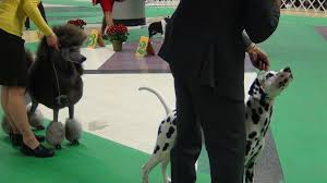 poodle and dalmation 1 jpg