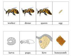 honey bee life cycle colour and write worksheets sb8455
