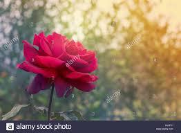 condolences greeting card flower on condolences background for sympathy greeting
