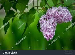 lilac bush lilac background stock photo 566182837 shutterstock