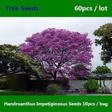 family bignoniaceae handroanthus impetiginosus seeds 60pcs