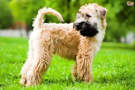 soft coated wheaten terrier dog breed information buying advice