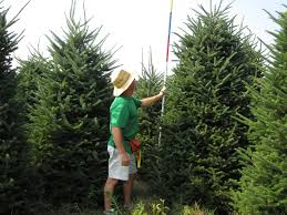 fraser fir height trees are measured for height the pole is color