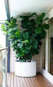 the 25 best large leaf plants ideas on pinterest fiddle leaf