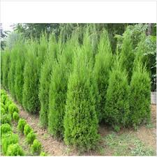 aliexpress buy selling cypress trees seeds conifer