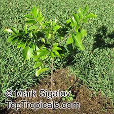 myristica fragrans nutmeg toptropicals