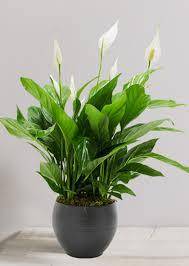 plantes dépolluantes chambre à coucher 10 belles plantes dépolluantes pour assainir l air intérieur