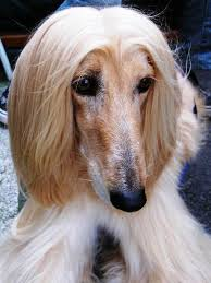 afghan hound snood afghan hound dog breed