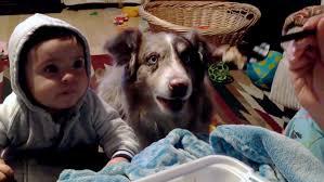 australian shepherd 60 minutes dog says