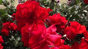 Types Of Flower Gardens The Many Types Of Roses At Kayoichou Park Japan Youtube