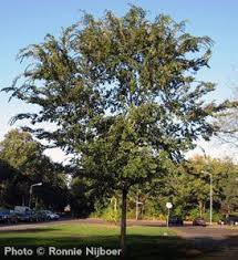 21 best trees images on shade trees shrubs and
