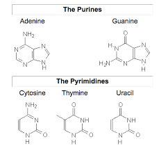 purines vs pyrimidines difference and comparison diffen