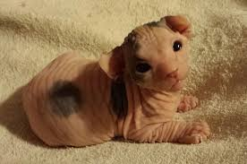 Hairless Cat Meme - 23 photos that prove that hairless kittens are adorable little aliens