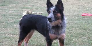 australian shepherd upkeep texas heeler information characteristics facts names