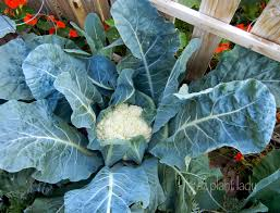 what is growing in my vegetable garden ramblings from a