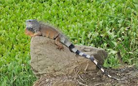green iguana wikipedia