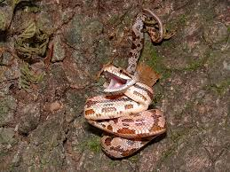 myth busted vipers aren u0027t the fastest snake in the world others