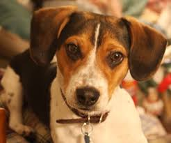 australian shepherd and beagle mix best jack russell beagle mix puppies dog breeds puppies train