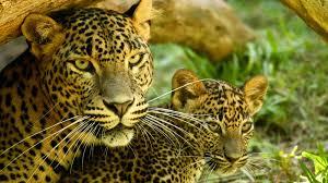 leopard animal profile