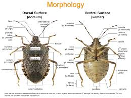 stink bug anatomy images reverse search