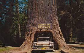 Tree Chandelier Chandelier Tree Of The Redwoods Underwood Park Californ U2026 Flickr