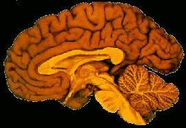 Gross Brain Anatomy Anatomy U0026 Physiology Disciplines Neuroscience Mega Net