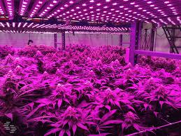 trellising the cannabis grow