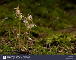 ghost orchid epipogium aphyllum in deep shade woodland in south