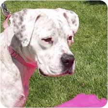boxer dog for adoption mollie u003d spotted boxer adopted dog a007851 san clemente ca