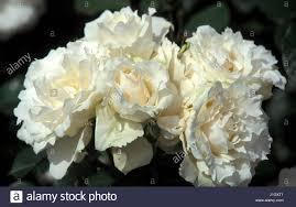 Diana Princess Of Wales Rose by Princess Wales Stock Photos U0026 Princess Wales Stock Images Page 3