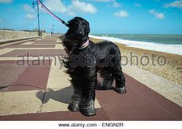 afghan hound walking afghan hound at the beach stock photo royalty free image