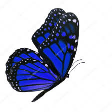 blue monarch butterfly stock photo thawats 78348512