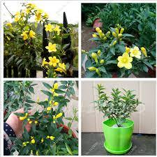 Fragrant Jasmine Plant - high quality jasmine plant indoor promotion shop for high quality
