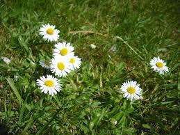 common daisy world crops database