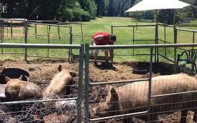 pigs move to sierra foothills town after u0027rescue u0027 from delta