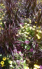 florida friendly ornamental grasses fcap