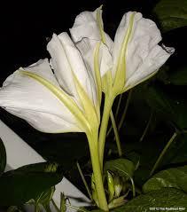 Moon Flowers Moonflowers Glow In The Dark