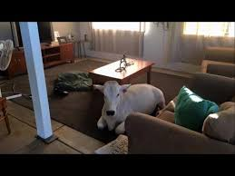 and in livingroom cow sneaks into owner s house and gets comfortable waiting in