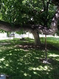 oldest weeping american elm provo ut jacobbarlow com