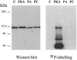 selective activation of rolipram sensitive camp specific