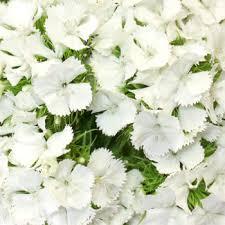 sweet william flowers william white flowers