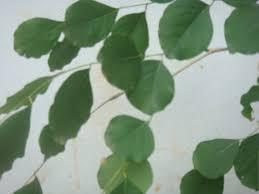 file leaves of rosewood tree jpg wikimedia commons