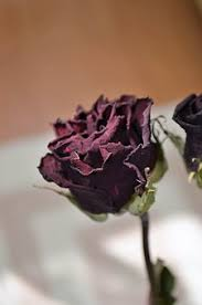 dried roses dried images pixabay free pictures