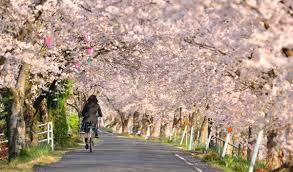 the 99 000 cherry trees japan to salve the sorrow of a tsunami